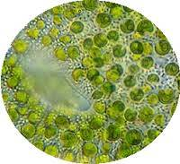 Chlorella, detail