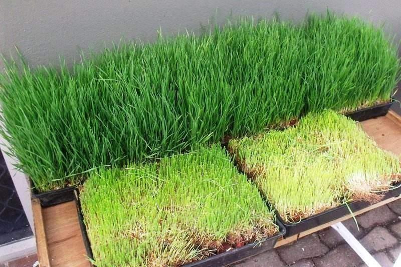 Nežádoucí účinky mladé pšenice můžou být spojeny s nesprávným pěstováním