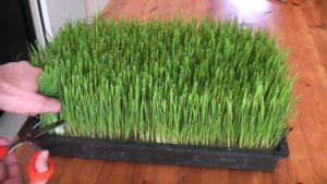 Mladá pšenice, zelený ječmen - pěstování