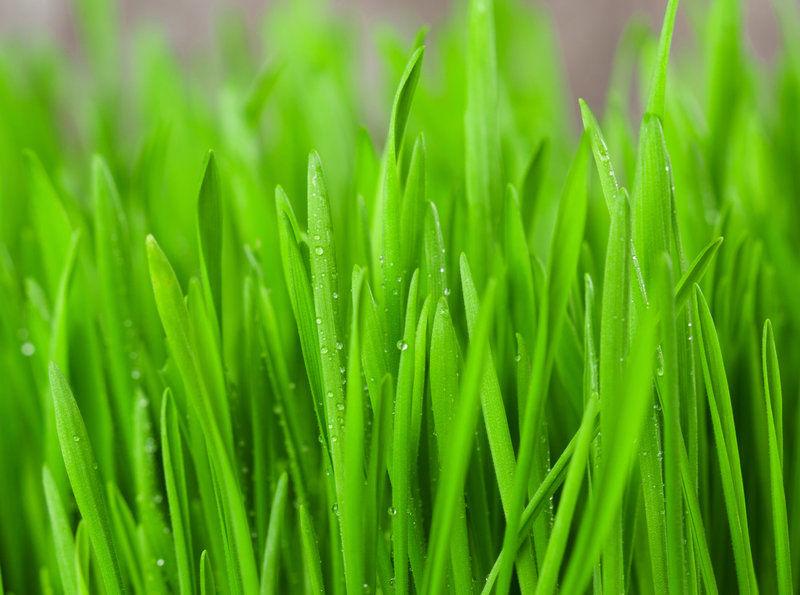 mlada zelena psenice