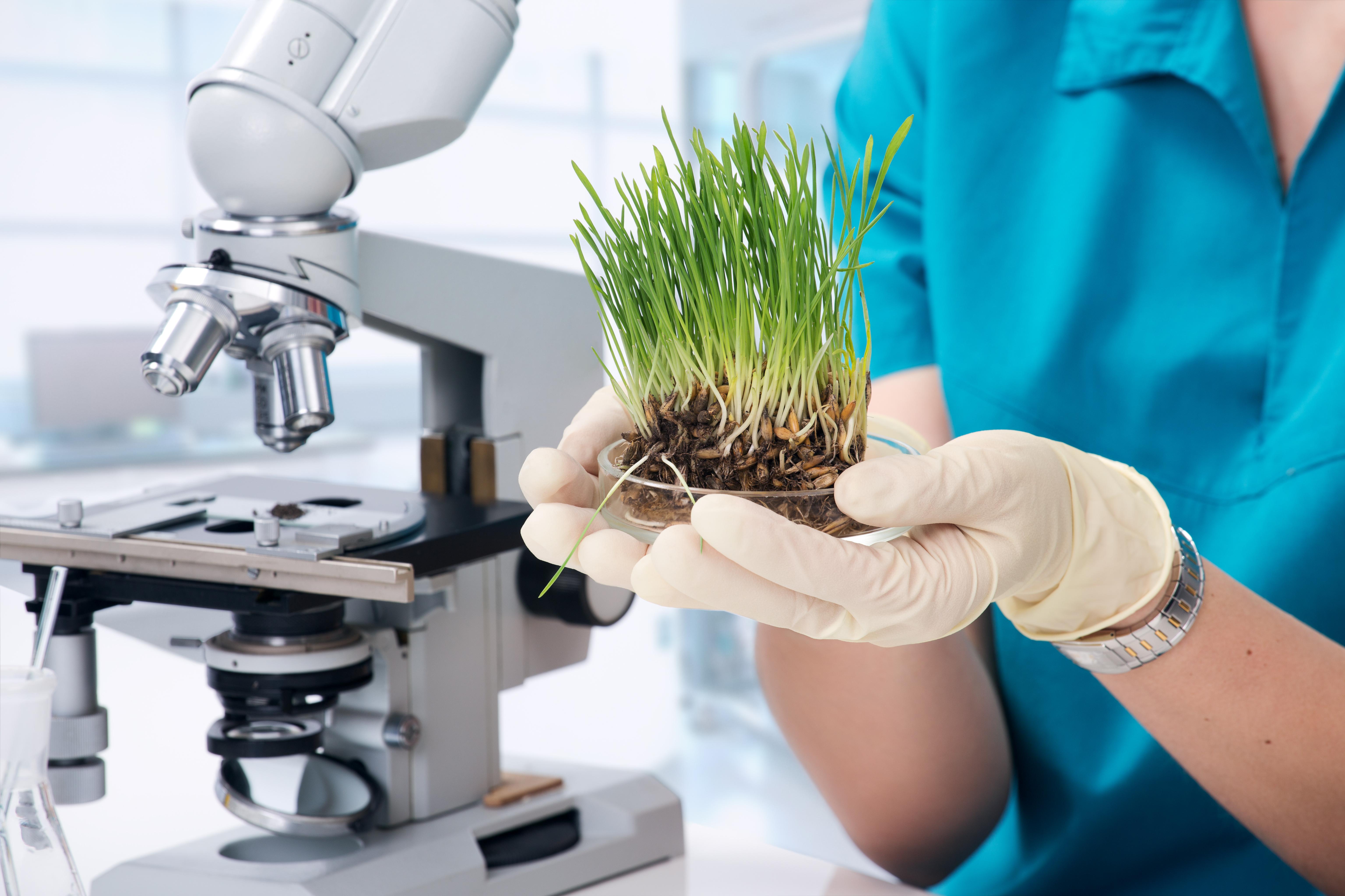 Zelený ječmen, pěstování v laboratoři