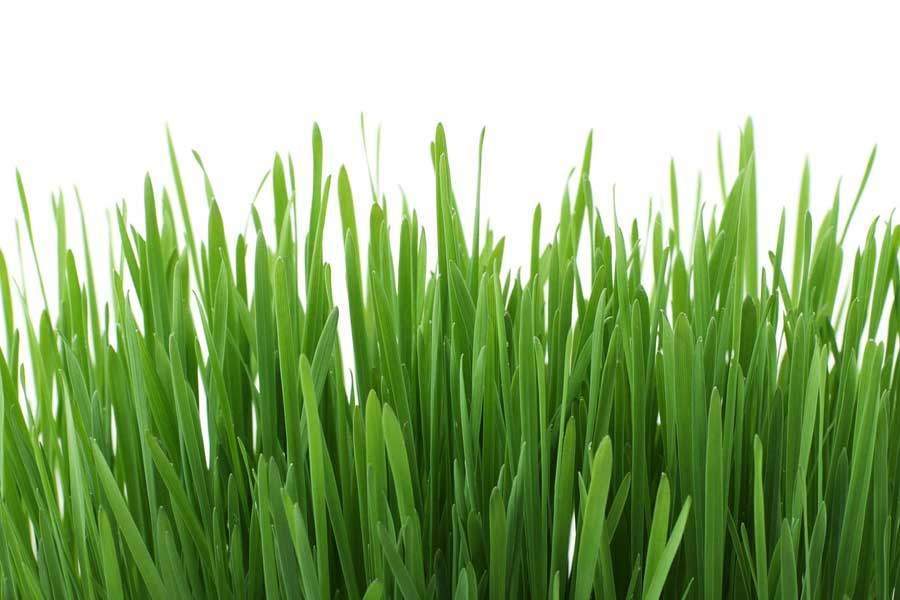 Zelený ječmen - detoxikace