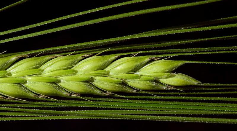 zelený pšeničný klas