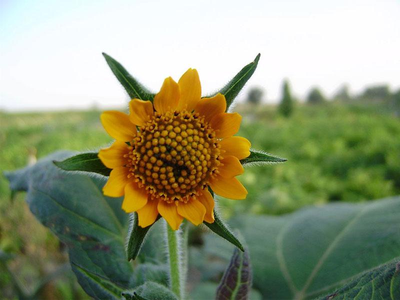 květ jakonu