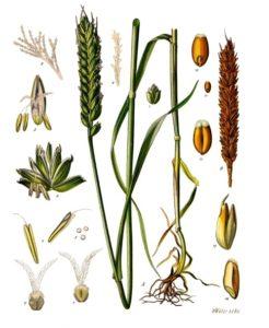 mladá zelená pšenice