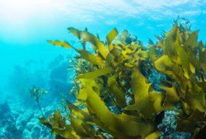 superpotravina mořská řasa