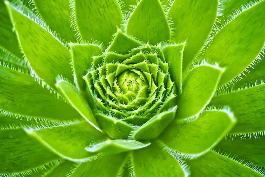 kurkuma rostlina
