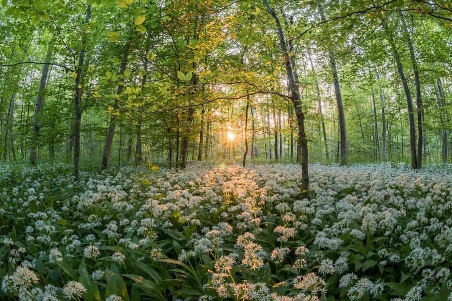 medvědí česnek v lese