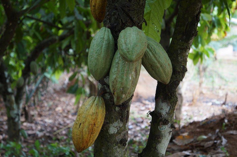 kakaové lusky