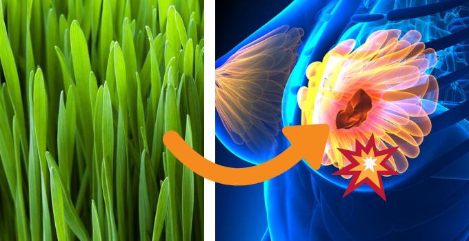 zelený ječmen a rakovina