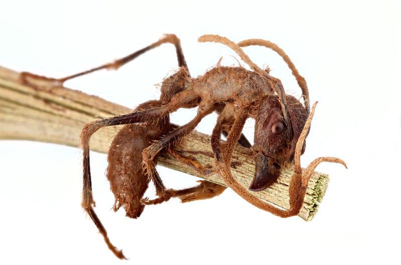 cordyceps mravenec