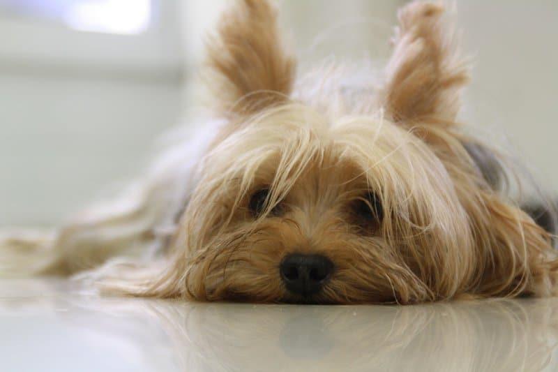 unavený pes
