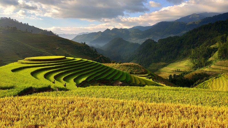 pěstování hnědé rýže