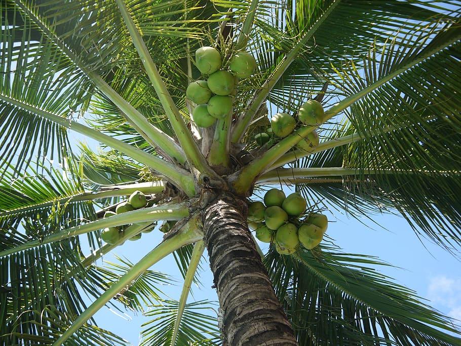cocos nucifera pro výrobu kokosového cukru