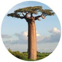 Baobab prstnatý