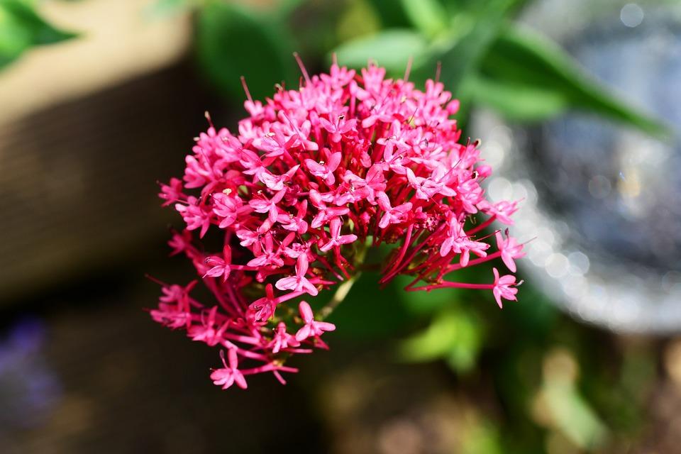 Kozlík lékařský, květ