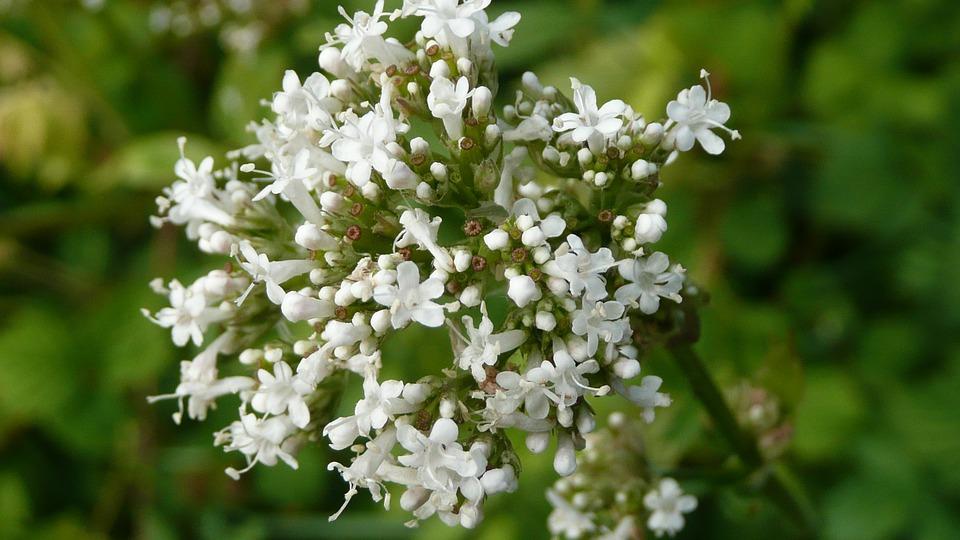 květ Kozlíku lékařského