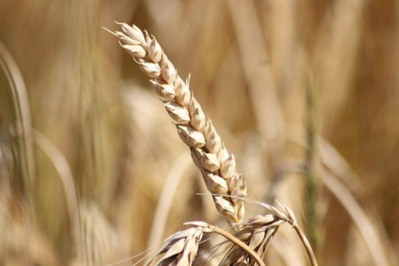 obiloviny, zdroj sacharidů